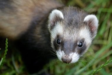 A ferret wandering in the grass