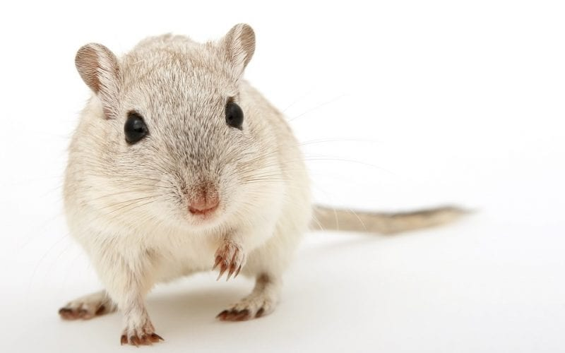 A whitish brown colored gerbil on a plain white background.