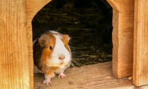 a white fluffy guinea pi stands at the edge of its cage and looks out curiously