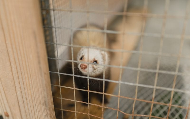 A cute ferret curiously looks out of a cage